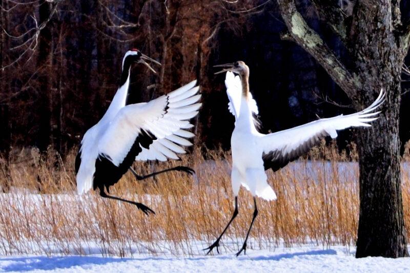 雪原を舞う二羽のタンチョウ