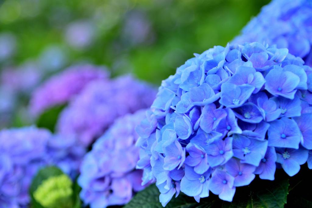 青と紫の紫陽花