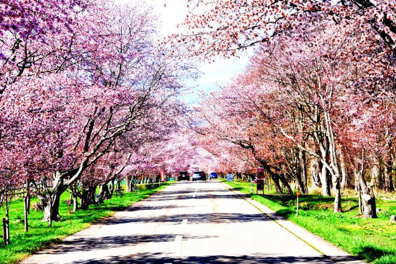 浦河の桜ロート