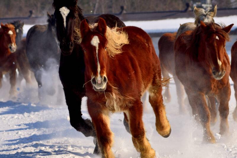 十勝牧場の「馬追い」! 雪原を舞う迫力の風景!