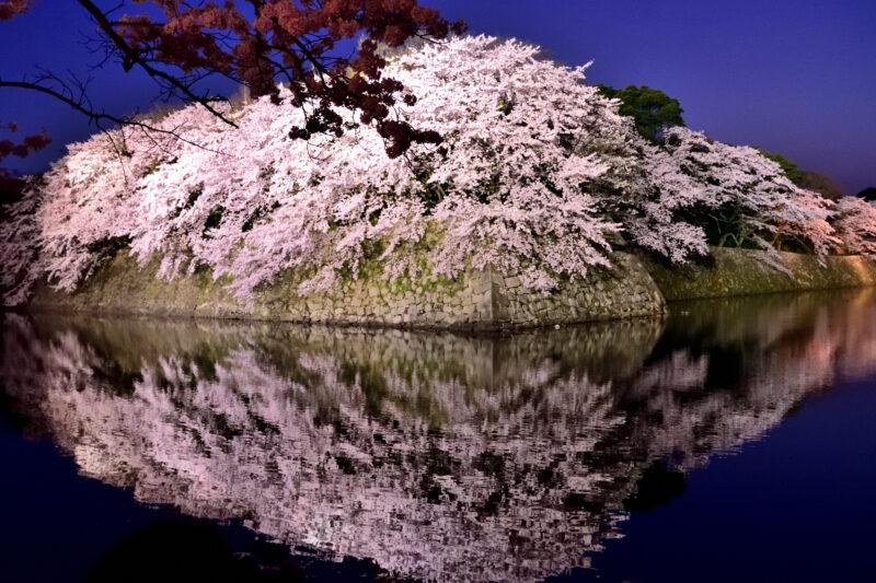 彦根城の桜のライトアップや開花状況や見頃?撮影スポットは堀の水の映り込み?