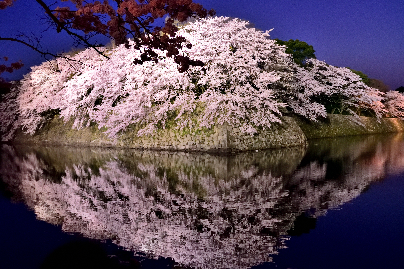 彦根城の鏡桜