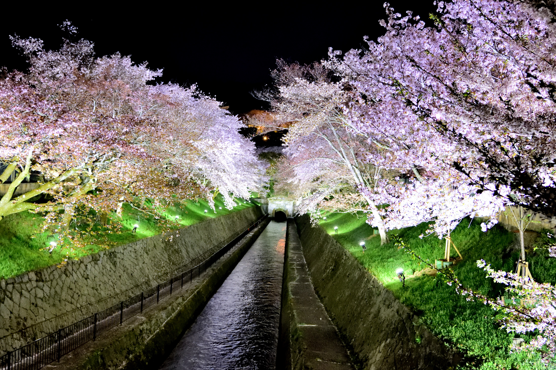 夜桜と琵琶湖疏水