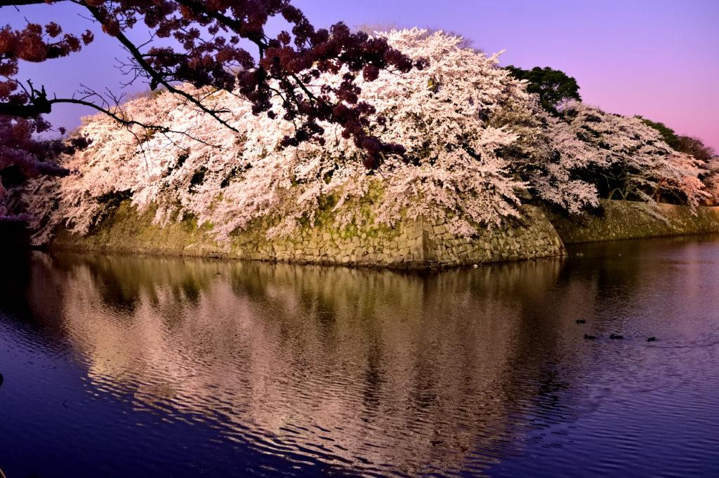 夕闇の彦根城の桜