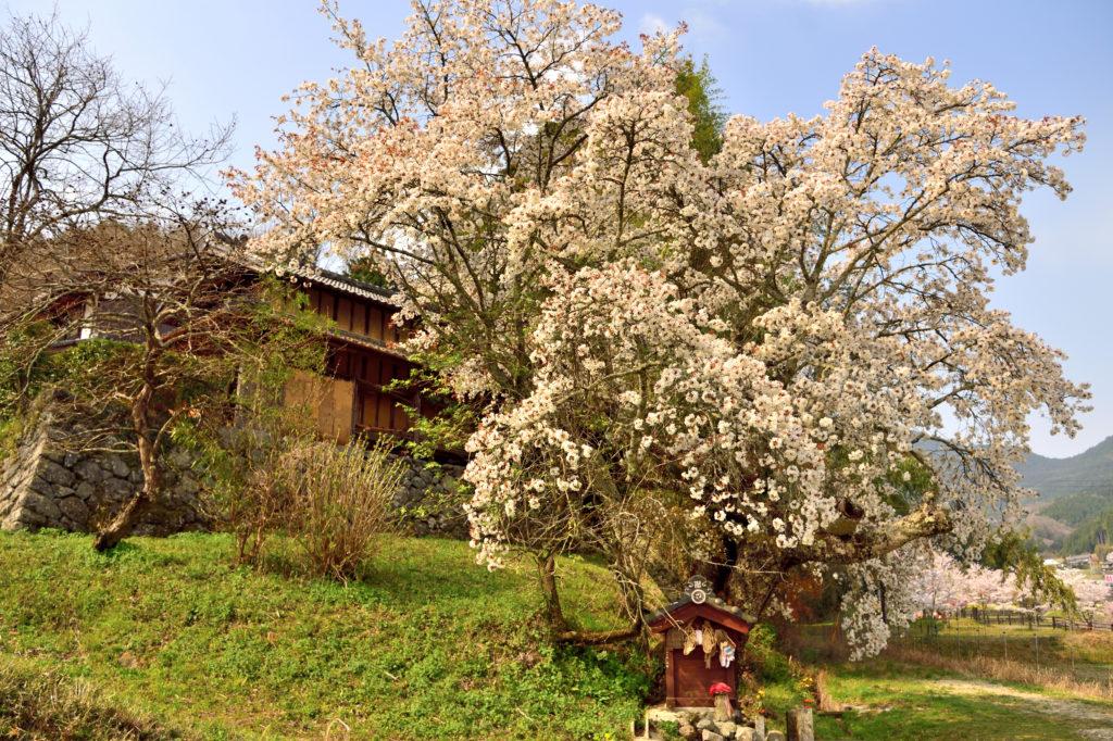 北向地蔵と桜