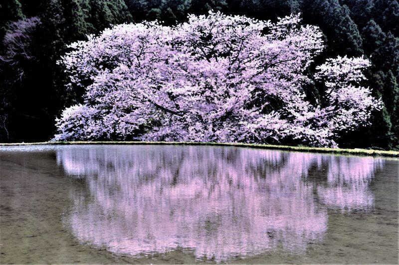 水田に映る桜の木