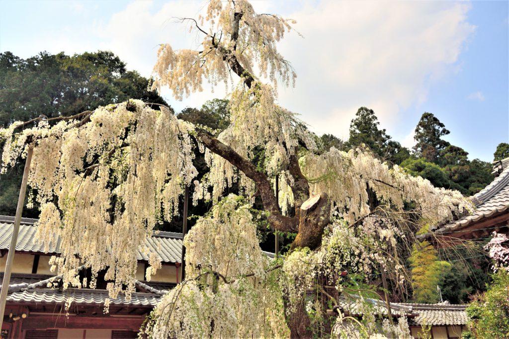 白い枝垂れ桜
