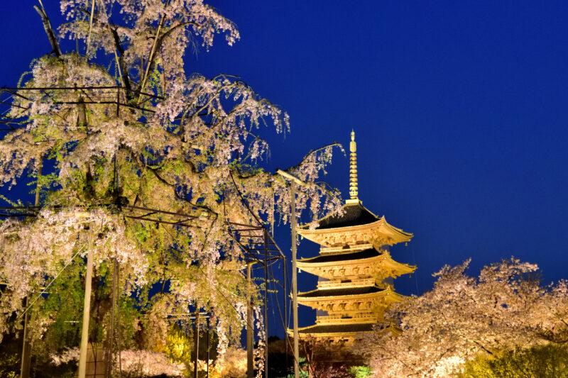 ライトアップされた桜と五重塔
