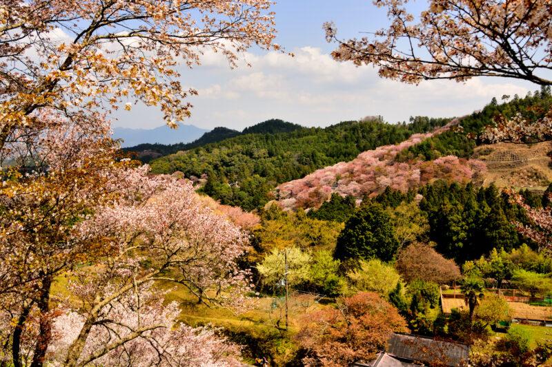吉野山とヤマザクラ