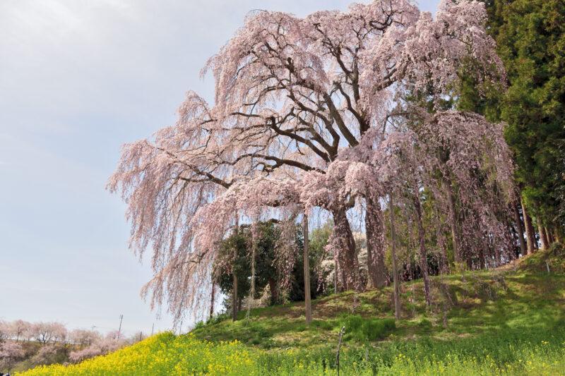 草原にたつ二本の枝垂れ桜
