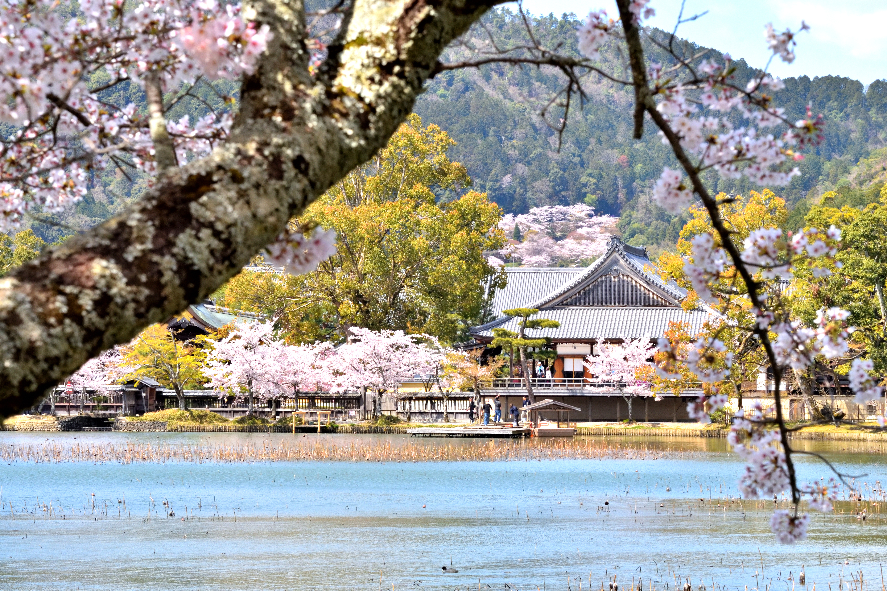大覚寺の大沢池と本殿と桜