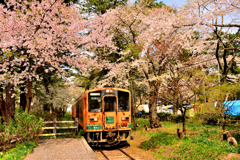 五所川原の桜のトンネルを走る列車