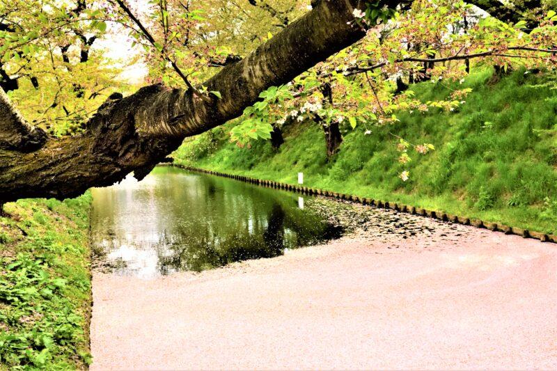 弘前公園の花筏と桜の幹