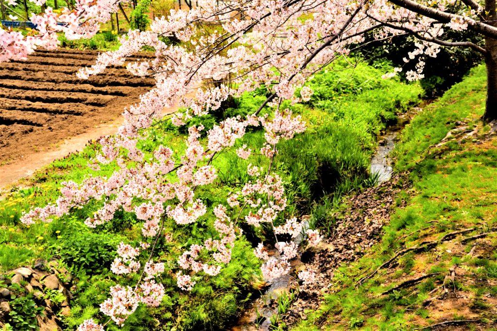 松前公園の桜と小川