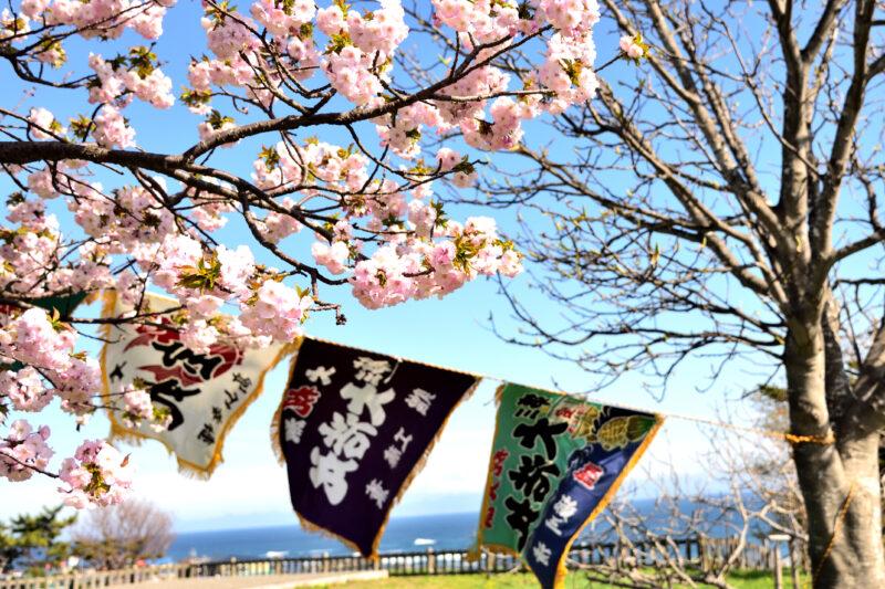 松前公園の大漁旗と海と桜