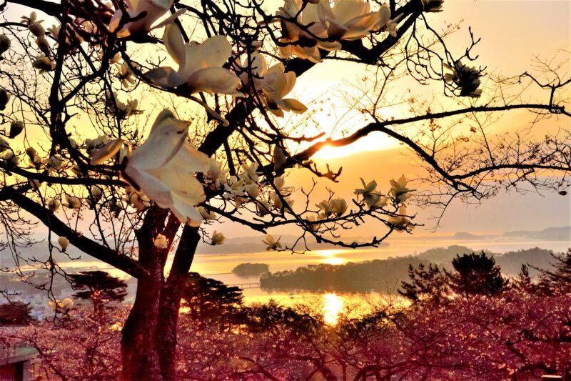 松島の日の出と白木蓮と桜