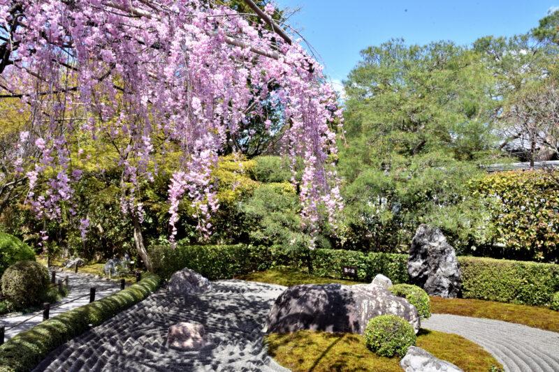 妙心寺の枝垂れ桜と石庭