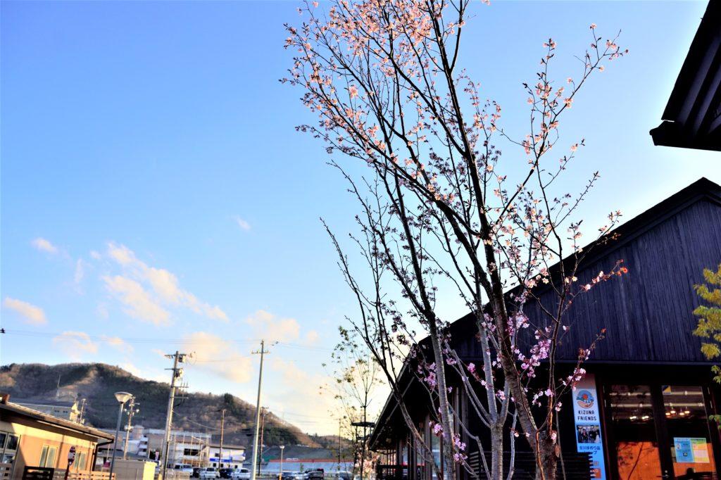 シーパルピア女川の桜