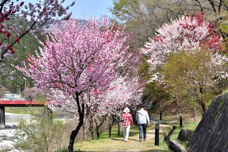 花桃(ハナモモ)に包まれて散歩する夫婦