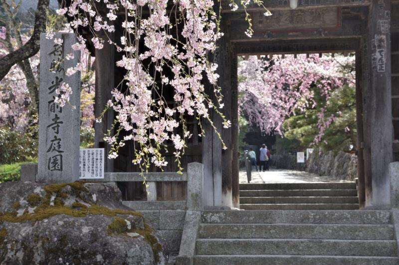 光前寺の門の枝垂れ桜