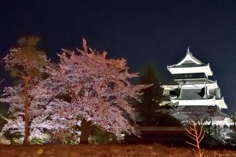 ライトアップされた桜と松本城