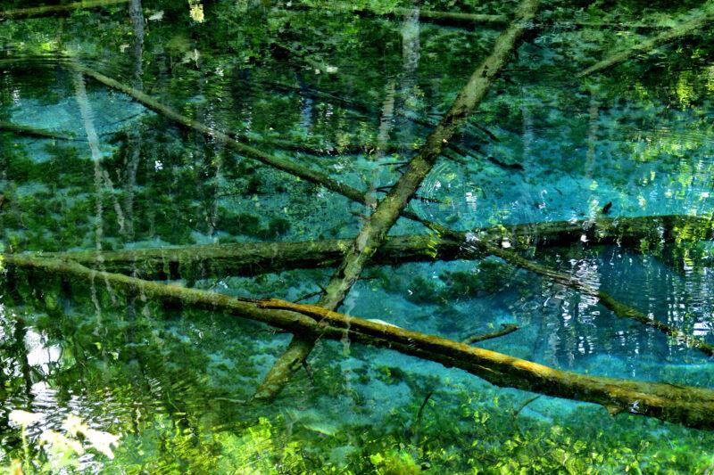 神の子池の水中の木