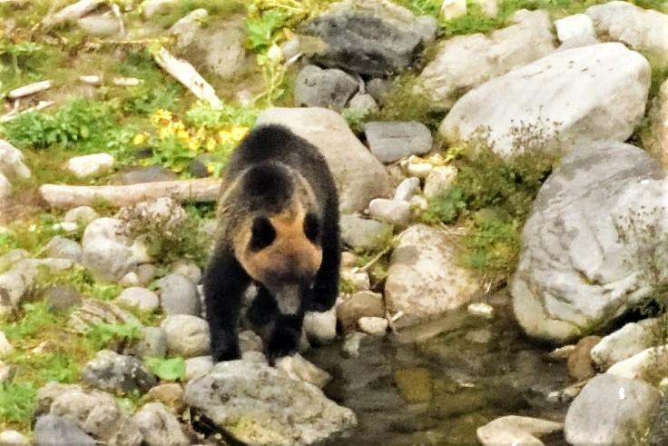 知床の川沿いにいる熊