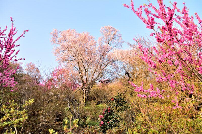 花見山公園の花々