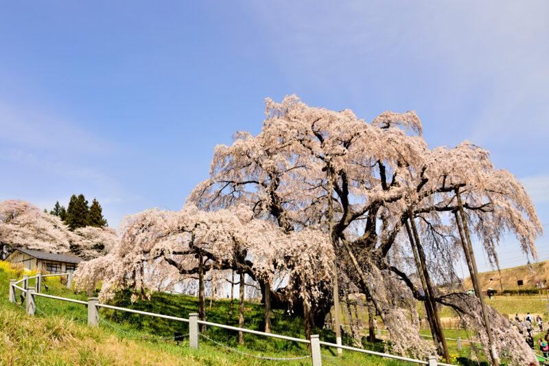 三春滝桜の見頃や2021年開花状況?見どころや撮影スポットは?