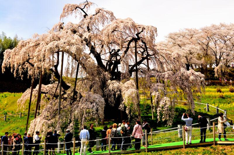 三春滝桜のアクセスや駐車場?東京や仙台から電車・バスや車で?
