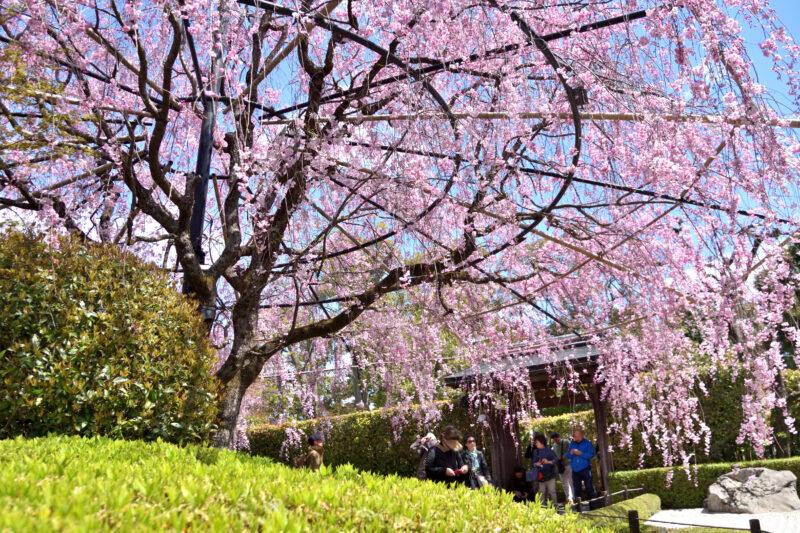 妙心寺退蔵院の余香苑の紅しだれ桜