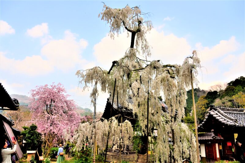 大野寺のしだれ桜