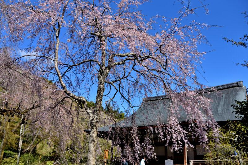 天龍寺の紅しだれ桜