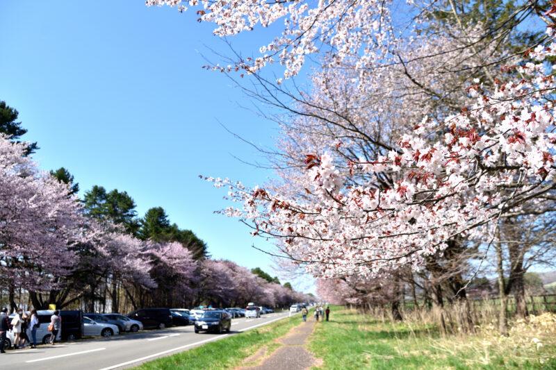 静内二十軒蔵並木道路の桜