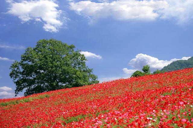 天空のポピー2021の開花や見頃やバスツアーは?秩父高原牧場(彩の国ふれあい牧場)!