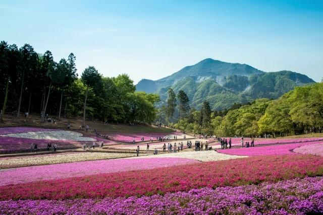 秩父芝桜の丘(羊山公園)の2021年開花や見頃は?芝桜祭りやアクセスは?