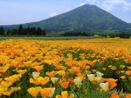 生駒高原のポピー