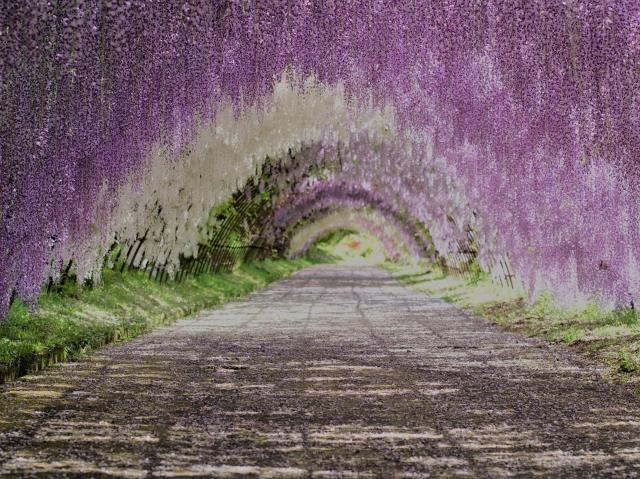 河内藤園の藤のトンネル