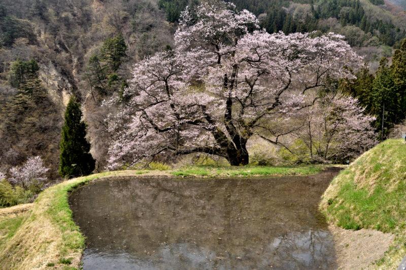 駒つなぎの桜の見頃や2021年の開花状況は?駐車場やアクセスは?