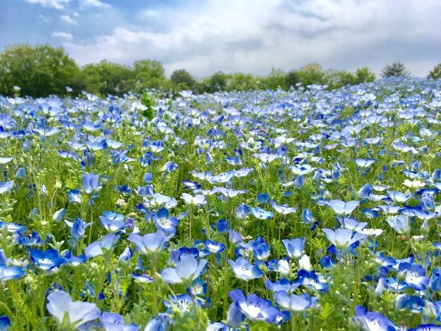 武蔵丘陵森林公園のネモフィラやポピーの2021年の見頃や開花?アクセスや駐車場は?