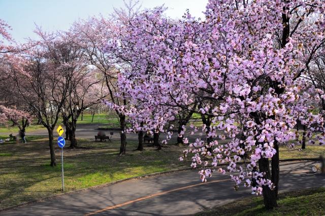 札幌農試公園のエゾヤマザクラ