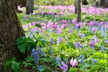 男山自然公園のカタクリ