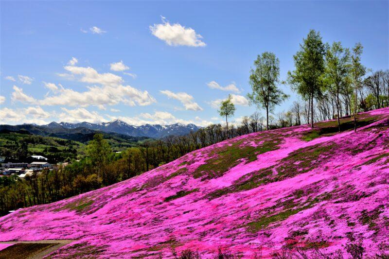 滝上公園の芝桜の見頃や2021年開花や芝ざくらまつりは?アクセスや駐車場は?