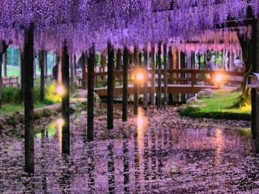 天王川公園の2021年津島藤まつりや駐車場は?見頃や開花は?