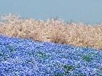 海の中道海浜公園(福岡)のネモフィラの2021年の見頃や開花時期?桜とコラボレーション?