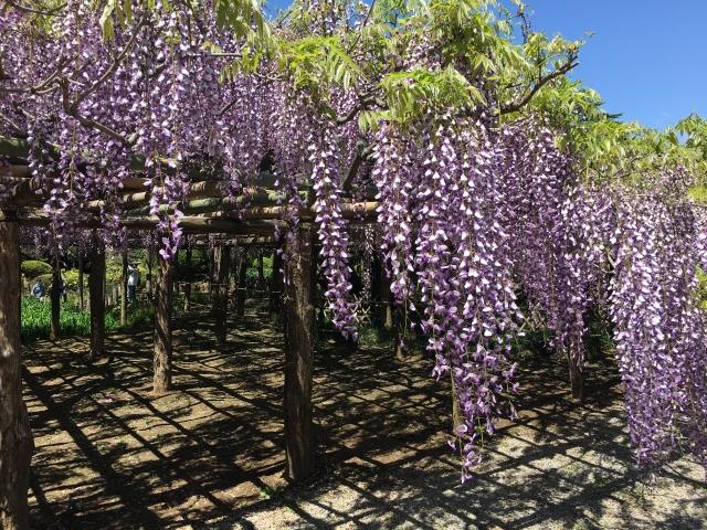 牛島の藤(天然記念物)の見頃や2021年の開花は?藤花園の開園時期や駐車場は?