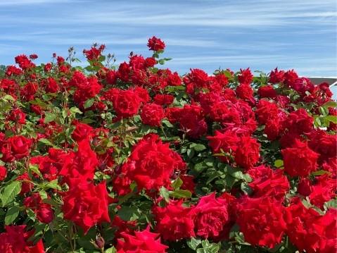 越後丘陵公園のバラ