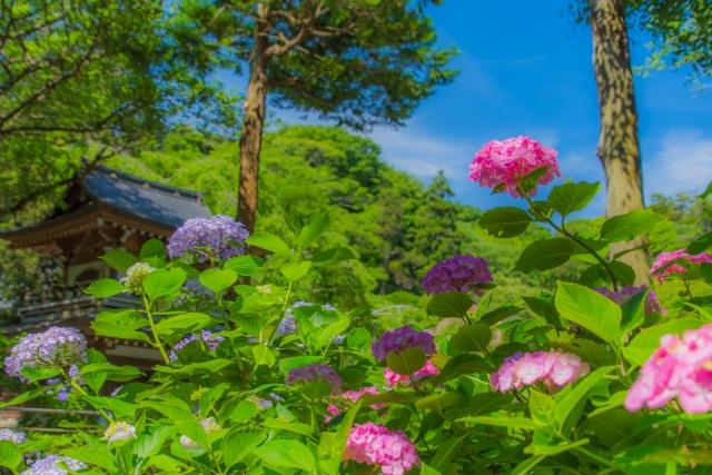 北鎌倉の紫陽花