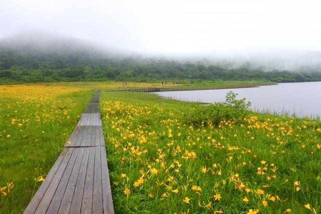 雄国沼のニッコウキスゲ