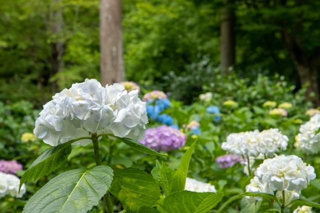 三千院の紫陽花